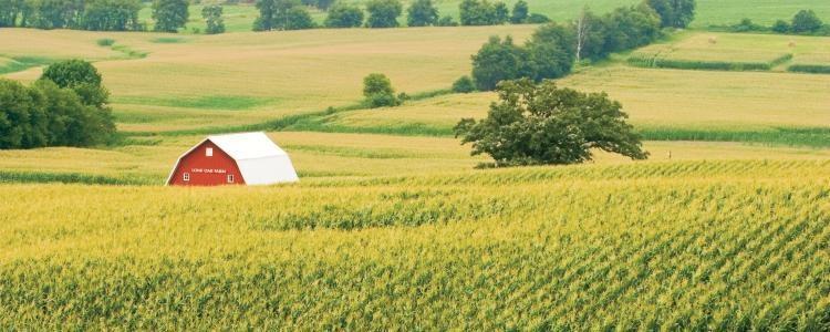 Corn grows near a barn . MADATORY CREDIT Ken Kashian